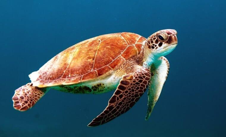 turtle apisteuta