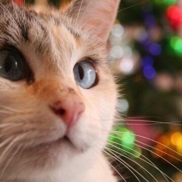 christmas-cat-apisteuta