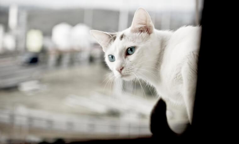 cat_apisteuta